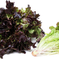 Mzr3ty Red Oak Lettuce
