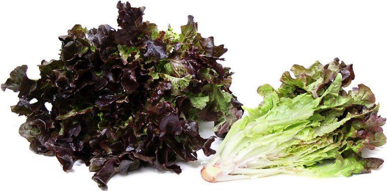Mzr3ty Red Oak Lettuce